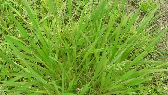 2018年8月4日小麦除草剂农药批发价格表